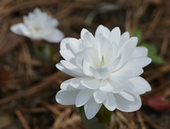 Double Bloodroot in my garden (lovesdahlias 1) Tags: flowers nature gardens spring blossoms newengland bloodroot