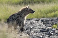 hyena (charlesgyoung) Tags: africa tanzania nikon safari hyena serengetinationalpark charlesyoung d810 nikonfx nomadtanzania karineaignerphotographyexpedition