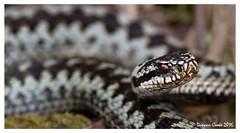 DS0D3429-Adder (duncancooke.happydayz) Tags: uk bridge nature native reptile snake wildlife british hay amphibians snakes reptiles adder vipera berus naturesgreenpeace