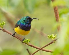 Variable Sunbird Male, Cinnyris venustus, Chimanimani, Zimbabwe (Jeremy Smith Photography) Tags: chimanimani cinnyrisvenustus jeremysmith jeremysmithphotographycouk jeremysmithphotographycom nectariniavenusta variablesunbird yellowbelliedsunbird zimbabwe jeremysmithphotography