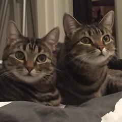Familjens ögonstenar myser ihop. #plötsligthänderdet #cats #sisters #pets (ulricalyhnakis) Tags: square squareformat iphoneography instagramapp uploaded:by=instagram
