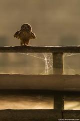 Coruja-do-nabal | Short-eared owl (Asio flammeus) (Bruno Maia | www.brunomaia.com) Tags: avesemportugal avesdeportugal shortearedowl asioflammeus corujadonabal brunomaiacom