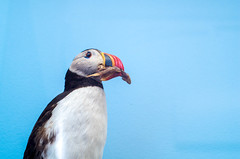 IMGP1191.jpg (Zeilenende) Tags: tier vogel museumknig papageientaucher prparat halbtotale