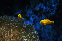 Yellow Fish (gina.tesloff1991) Tags: life travel family blue sea fish plant color colour cute eye nature water beautiful amsterdam yellow rock wall contrast canon aquarium aqua underwater tank bright ripple wildlife small floating sealife grace cheeky exotic tiny colourful urchin flippers darkblue