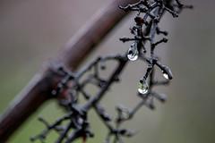 Raindrop Grapes (relhups) Tags: outdoor grapes droplet