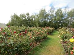 Tasman Bay Roses