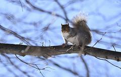 hello cutie! :-) (Dotsy McCurly) Tags: blue sky tree nature beautiful lens nikon squirrel sigma 600mm d7200