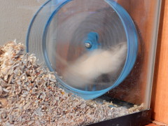 DSCN1426 (therovingeye) Tags: pets wheel gerbil running smallanimals gerbilwheel gerbilhabitat