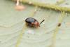 Endomychidae. Mycetina sp. ~4-5mm (David Ball.) Tags: singapore endomychidae canon270ex mycetina