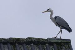 Reiher Sturzflug - Heron Nosedive - 004_Web (berni.radke) Tags: heron reiher nosedive sturzflug