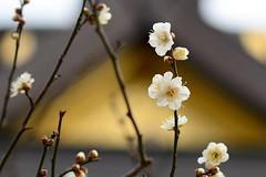 Ume blossom, Spring has come! (Yasuz) Tags: flower nature zeiss nikon shrine blossom 85mm  ume yushima  carlzeiss  zf2 planart1485 nikondf