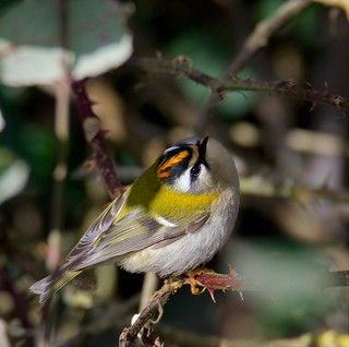 Firecrest (Explored 19-02-16)