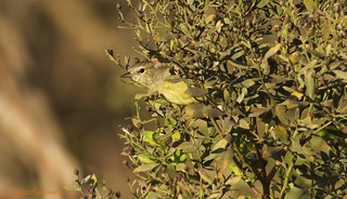 Orange-crowned Warbler (Oreothlypis celata) OCWA - A Late Fall/Early Winter Visitor Checking Me Out!
