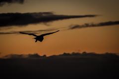 Barn owl - hunting at dusk (gizmo-the-bandit) Tags: uk bird nature silhouette barn dusk hunting owl widldlife