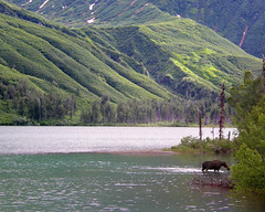 Moose in Crescent Lake (LakeClarkNPS) Tags: lake mountains alaska moose crescentlake lakeclarknationalparkandpreserve chigmitmountains