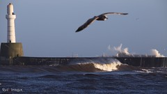 Photo Bomber. (northernkite) Tags: sea harbour gull north stormy aberdeen breakwater