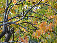 starr-061225-2923-Diospyros_kaki-fall_colors_branches_and_leaves-Olinda-Maui (Starr Environmental) Tags: diospyroskaki