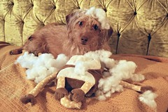 Honey and her new toy (tiffanycsteinke) Tags: dog toy mess dachshund fluff honey poodle the 2016 dachshundpoodle