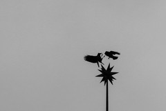 Air combat (Mauricio Duque Arrubla) Tags: blackandwhite birds fight flight silohuette