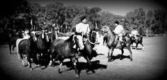 Los picazos malacara) (Eduardo Amorim) Tags: horses horse southamerica argentina criollo caballo cheval caballos cavalos pferde herd cavalli cavallo cavalo gauchos pferd ayacucho chevaux gaucho cavall  amricadosul gacho amriquedusud provinciadebuenosaires  gachos  sudamrica suramrica amricadelsur sdamerika crioulo caballoscriollos criollos  tropillas buenosairesprovince americadelsud tropilhas tropilla crioulos cavalocrioulo americameridionale tropilha caballocriollo eduardoamorim cavaloscrioulos