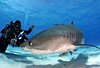 9N0A8918 - Version 2crop (sharkoperator) Tags: fiji tigersharks swimmingwithsharks sharkdiving tigerbeach greatwhitesharks guadalupeisland bullsharks beqalagoon sharkdiver