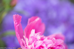 Pink and purple (LeChienNoir) Tags: pink flowers netherlands canon soft purple nederland bloemen d500 roze paars zacht 100mmmacrof28 lechiennoir lechiennoirnl