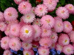 Bellis perennis (yewchan) Tags: flowers flower nature colors beautiful beauty closeup garden flora colours gardening vibrant blossoms blooms lovely bellisperennis englishdaisies doubledaisies