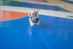 IMG_0400 (yukichinoko) Tags: dog dachshund 犬 kinako ダックスフント ダックスフンド きなこ