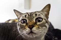 Uy... foto! (Renato Di Prinzio Fotografa) Tags: pets animals cat big eyes interior indoor ojos gato grandes felinos animales mascotas domesticos