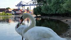 Mute Swans on the Rhine River (grinnin1110) Tags: river germany de deutschland europe wiesbaden hessen schwimmen main schwan vogel hesse cygnusolor whiteswan mainufer höckerschwan maaraue