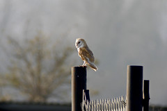 Reference shot really...but my first Barn Owl (Scuba`Steve`) Tags: barn owl digiscoping