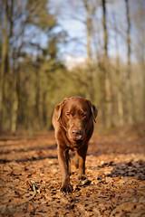 my girl (uwe.kast) Tags: dog nikon labrador bokeh hund labradorretriever wald d3 nikond3 labradorredriver