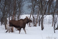 Alce (robertopastor) Tags: viaje nikon noruega 70200 tromso ártico auroras laponia alce d700 robertopastor