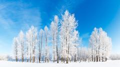 Winter Wonderland (Nelepl (away)) Tags: trees winter snow canada frost hoarfrost bluesky manitoba jackfrost birdshillpark