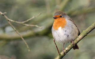 Friendly Robin! [Explored!]