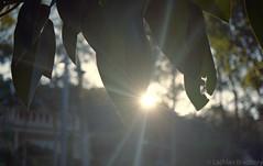Fading Sunlight [Nikon F55 Film] (Aviator195) Tags: trees light sunset sun sunlight tree film nature leaves sunshine iso200 leaf nikon afternoon shine natural kodak dusk naturallight oldschool retro f flare epson local fading shining v550 kodakfilm churchpoint northernbeaches filmphotography filmphotos nikonf55 fadinglight f55 glair filmisnotdead colorplus kodakcolorplus epsonv550 epsonperfectionv550