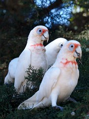 "Bare eyed cockatoos having lunch • <a style=""font-size:0.8em;"" href=""http://www.flickr.com/photos/140467180@N02/25487131775/"" target=""_blank"">View on Flickr</a>"