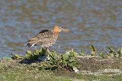 Grutto (Oetmeij_hobbyfotografie) Tags: bird nature vogels natuur grutto blacktailedgodwit limosalimosa birdphotography vogelfotografie