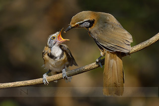 Necklaced Laughingthrush