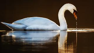 Sunset swan...