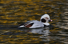 Long-tailed Duck (ashockenberry) Tags: