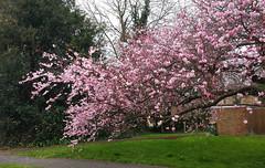 that rain of cherry blossom petals (lunaryuna) Tags: pink england tree season spring surrey urbannature cherryblossoms lunaryuna cherrytree urbanlandscape seasonalwonders rainofcherryblossompetals