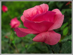 It might as well be spring... (Mike Goldberg) Tags: pink texture rose effects reddish hss fullbloom mikegoldberg jerusalemvicinity canong16