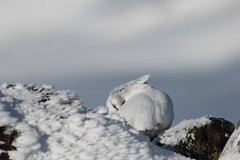 Ptarmigan (blootoonloon1( No to Badger Cull)) Tags: white snow bird nature animal scotland spring highlands wildlife ptarmigan cairngorms