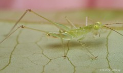 20160401 - 02    Transparent, to a degree. (Henry Aldridge) Tags: singapore insects katydid orthoptera tettigoniidae arthropods henryaldridge asiophlugistemasek