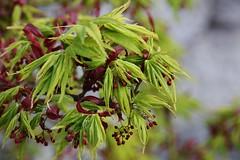 Ahorn (Hugo von Schreck) Tags: green outdoor laub pflanze flowering blte ahorn f13 tamron28300mmf3563divcpzda010 canoneos5dsr hugovonschreck