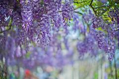 Wisteria sinensis (Jill-Wang) Tags: leica sunlight 50mm purple bokeh noctilux wisteria m9 sinensis