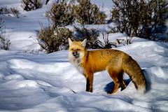 Red Fox in Late Afternoon Light (Colleen Easley) Tags: winter animals wildlife fox yellowstone redfox
