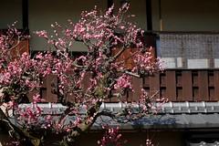ねねの道 (nobuflickr) Tags: japaneseapricot ウメ prunusmume バラ科サクラ属 20160317p1030376