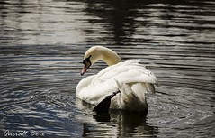 Cigne 3 (Queralt jqmj) Tags: lake lago swan catalunya cisne cerdanya llac cigne pirineu puigcerd